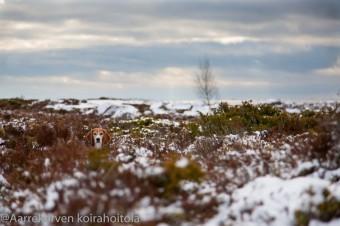 Veli-Matti Suhonen (H.Aarrekorpi): löydätkö kuvasta Beagle Vellun:) ?